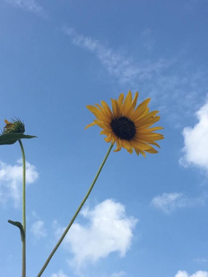 sunflowersky